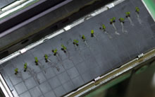 Arabidopsis seedlings
