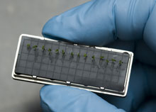 Arabidopsis seedlings in cassette