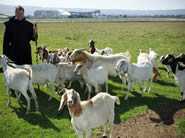 goats and goat herder