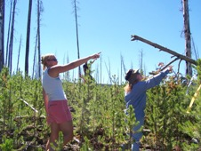 Two undergraduate students helped defoliate pine trees (Pinus contora)for a study conducted in the Yellowstone National Park. By defoliating the trees, photosynthesis is restricted and less sugar is produced at the tip of the roots. With less sugar available, a dormant gene is stimulated in mycorrhizal fungi, which produces the enzymes needed for fungi to eat wood.