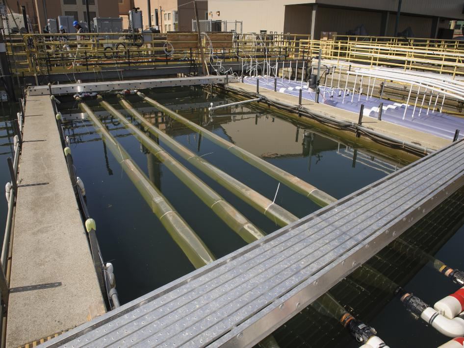 The NASA OMEGA floating photobioreactor prototype in a seawater tank at the Southeast wastewater treatment plant in San Francisco. The four flexible plastic tubes are filled with algae and wastewater, which circulates through the system.