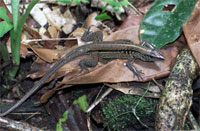 photo: A rain forest lizard.