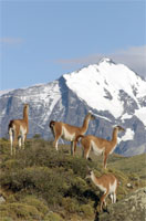 photo: Herd of Guanacos.