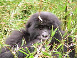 Image of a Gorilla