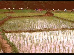 This image shows Chinese farmers transplanting rice in paddy fields in Yunnan Province, China, July 1999.
