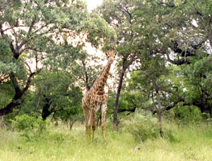 This picture of a giraffe coming through trees was taken of the Skukuza area during NASA's SAFARI 2000 field mission, just prior to the African monsoon season.