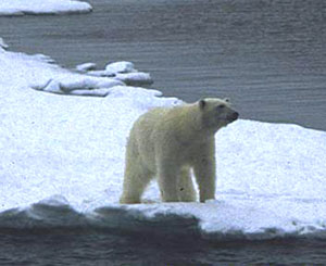 Sea ice is an important platform for many polar marine vertebrates.  Polar bears use sea ice for migration and hunting.