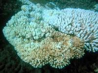 The image is a typical example of bleached coral, shown here in January 2006 at Keppel Reef, part of the Great Barrier Reef.