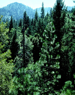 An image of evergreen conifers, a species common in the U.S. Pacific Northwest.