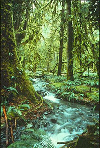 A rain forest in the U.S. Pacific Northwest.