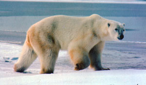 157486main poBearRTaylor Polar Bear Endangered Species!