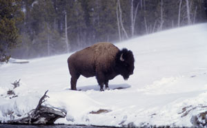 Photo of a bison in Yellowstone Park.