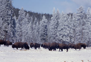 Photo of a bison herd.