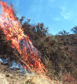 Chaparral ecosystems, like those shown in this image, are common in California and prone to wildfire.