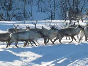 Reindeer herd in Norway in the snow.