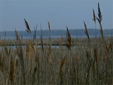 Photo of reeds along the Chesapeake