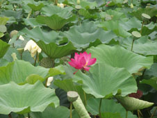 A lotus plant in bloom