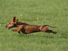 Greta displays her coursing skills.