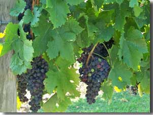 The Cabernet Sauvignon grapes growing at the vineyard.