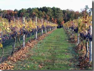 The Cascia vineyard circa 2009