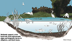 Graphic image of a wetland food web