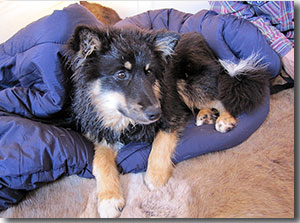 One of the herding dogs in the tent