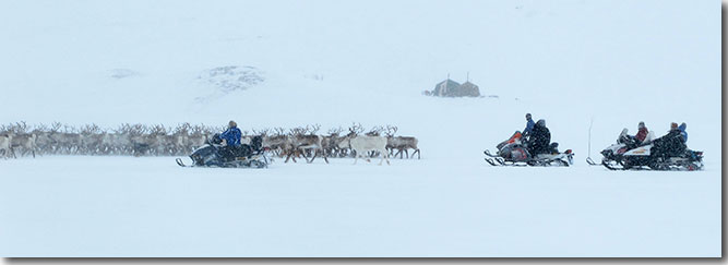 A scene taking in the herd and the snowmobiles.