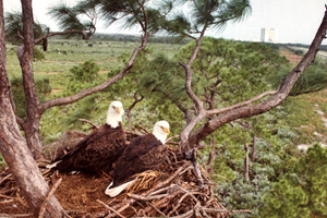 A pair of adult bald eagles perched in their nest