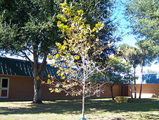 Moon Tree at Apollo Elementary School
