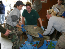 Wildlife workers and volunteers move a rescued turtle