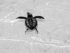 A sea turtle hatchling moves into the ocean.