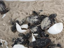 Newly hatched Loggerhead turtles.