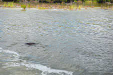 A manatee is seen splashing in the Banana River during a boat tour of Kennedy Space Center