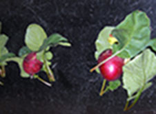 Radish plants were harvested from a plant growth chamber.