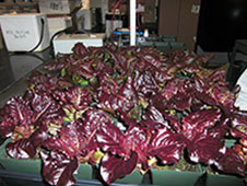 Red leaf lettuce plants were also harvested.