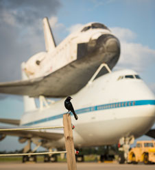 A bird is seen near the space shuttle Endeavour atop NASA's Shuttle Carrier Aircraft