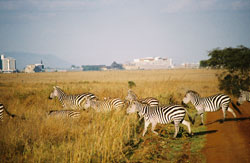 Photo of Nairobi National Park shown with its resident Burchell's Zebras. Downtown Nairobi is seen in the background.