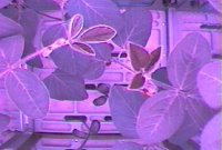 Photo description: July 2 image of soybean plants growing aboard the Space Station