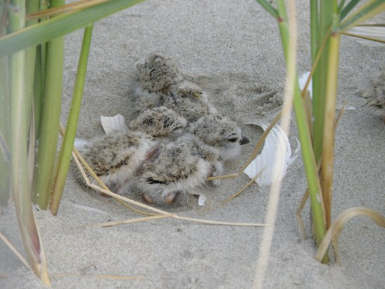 Piping plover chicks on Wallops Island.
