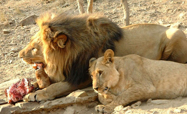 pictures of lions eating