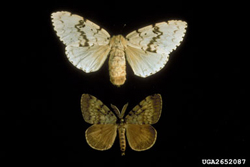 Image of Gypsy moths.