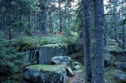 This is a photo of a spruce forest in Acadia National Park, Maine.