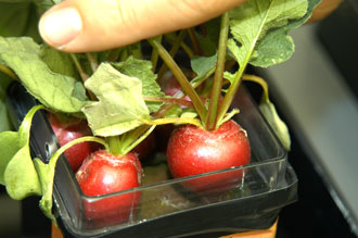 Radishes being grown at the Space Life Sciences Lab at NASA's Kennedy Space Center.