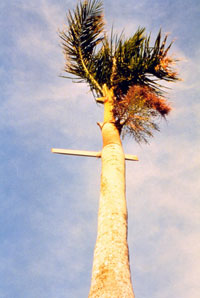 A large wooden plank impales a palm during Hurricane Andrew.