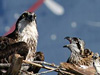 An adult osprey with a fledgling