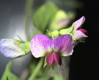 A close-up view of a bloom in the Lada greenhouse aboard the International Space Station.
