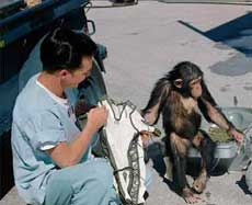 Chimp named Ham before testing the Mercury capsule.
