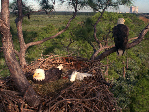 This 1992 image is one in a series documenting the daily lives of the southern bald eagles that inhabit an enormous nest at Kennedy Space Center.