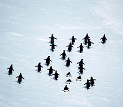 A waddle of penguins on the ice