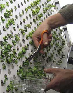 A grower clips the leaves of plants grown in the openings of an aeroponic chamber.